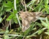 Noctuidae - Nattflyn