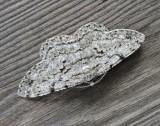 Geometridae - Mätare
