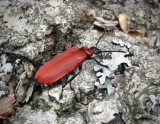 Kardinalbaggar - Pyrochroidae
