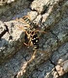 Långhorningar- Cerambycidae
