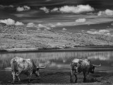 Longhorn Thirst