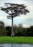 Impressive tree, typical from the forest.