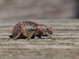 Curculionidae spec.