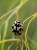 Propylea quatordecimpunctata