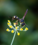Ants, wasps and bees