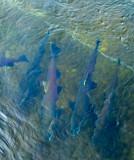 Coho Salmon.jpg