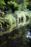 Tree fern reflections