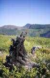 Charred stump
