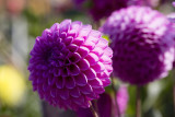 Dahlia at the Silverdale post office
