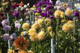 Dahlia garden at the Silverdale post office