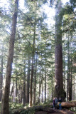 Old growth Spruce