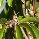 Humbingbirds