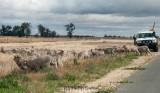 Herding a flock of merino sheep