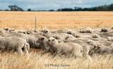 Merino sheep on the move at: Sheep Hills