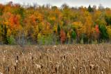 NY - Adirondacks Cat Tails Fall Color.jpg