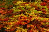 NY - Adirondacks Maple Leaves.jpg