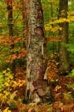NY - Adirondacks Treescape 3.jpg