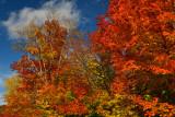 NY - Adirondacks Whiteface Mountain Treescape 1.jpg