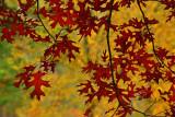 NY - Letchworth SP Oak Leaves.jpg
