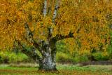 NY - Letchworth SP Treescape 7.jpg