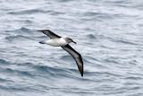 Grey-headed Albatross - Grijskopalbatros - Thalassarche chrystostoma