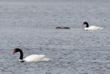 Black-necked Swan - Zwarthalszwaan - Cygnus melanocoryphus