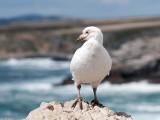 Snowy Sheathbill - Zuidpoolkip - Chionis albus