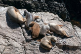South American Sea Lion - Manenrob - Otaria flavescens