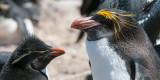 Two Penguin species - Twee pinguïnsoorten