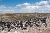 Rockhopper - Geelkuifpinguïn - Eudyptes chrysocome