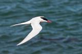 South American Tern - Zuidamerikaanse Visdief - Sterna hirundinacea