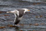 Kelp Gull - Kelpmeeuw - Larus dominicanus