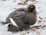 Falkland Steamer Duck - Falkland-booteend - Tachyeres brachypterus