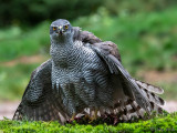 Netherlands, Northern Goshawk, October 29, 2020