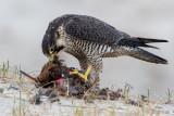 Peregrine - Slechtvalk - Falco peregrinus