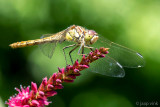 Netherlands, Noordwijk, Dragonflies and damselflies 2017-2021