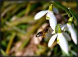 spring_snowflakes_leucojum_vernum