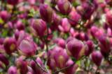 magnolia_blooms_cvetovi_magnolije_