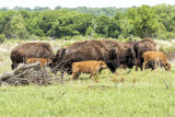 The Bisons of Minneopa State Park