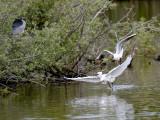 Les mouettes harcélent les autres habitants de l'étang