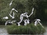 Explosion de cris de l'autre coté de l'étang, un milan vient d'attaquer une colonie de mouettes