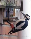 Bonte Specht - Spotted Woodpecker