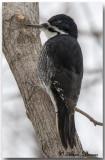 Pic à Dos Noir - Black-Backed Woodpecker