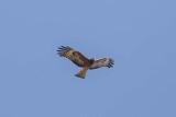 Kites, Hawks, Eagles (Accipitridae)
