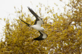Swallow-tailed Kite Migrating