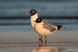 Franklin's Gull and Laughing Gull