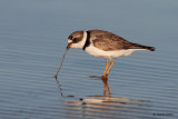 Semipalmated Plover and Worm