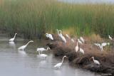 Egrets Fishing Scene