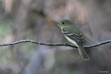 Trail's Flycatcher