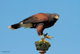 Harris' Hawk Laredo